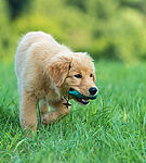 """Golden Retriever Welpe"""