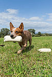 """Australian Cattle Dog"""