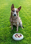 """Australian Cattle Dog vor Futternapf"""