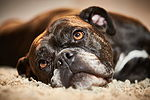 """Continental Bulldogge"""