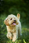 """Mini Labradoodle, Mischling"""