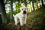 """Irish Soft Coated Wheaten Terrier"""