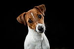 """Jack Russell Terrier"""