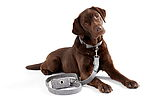"""Labrador Retriever mit Leinen-Set"""