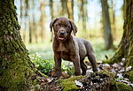 """Labrador Retriever Welpe"""