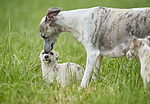 """Whippet mit Welpe"""
