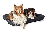 """Collie und Australian Shepherd in Hundebett"""
