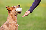 """Australian Cattle Dog bringt Dummy"""